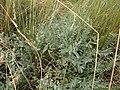 20389205-Astragalus rupifragus-2.jpg