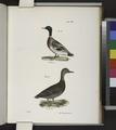 240. The Mallard (Anas boschas). 241. The Black Duck (Anas obscura) (NYPL b14505696-113650).tiff