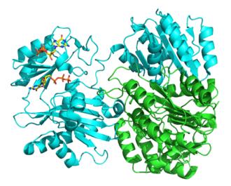 Succinyl coenzyme A synthetase - Image: 2fp 4