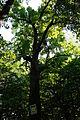 68-233-5016 дуб звичайний Нова Ушиця.JPG