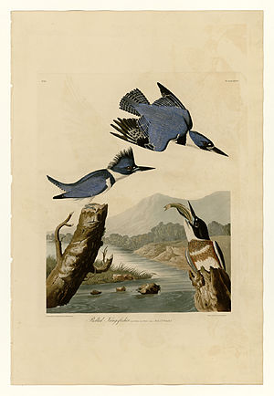 77 Belted Kingfisher.jpg