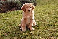 osmitýdenní štěně