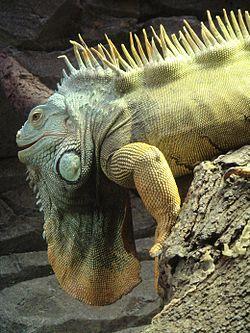 AA Iguana Fot Ars Summum.JPG