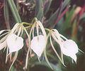 A and B Larsen orchids - Brassavola nodosa 945-10z.jpg