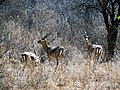 A buck group AJTJ P1020711.jpg