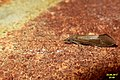 A caddis fly (BG) (36948617800).jpg