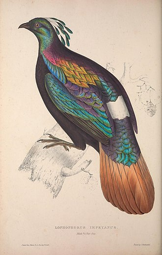 Elizabeth Gould (illustrator) - An example of the highly precise coloring and sheen in Elizabeth's use of lithography