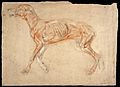 A dog, écorché. Chalk drawing attributed to J.F. Lewis. Wellcome L0030347.jpg