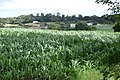 A field of maize above Gatehouse Farm - geograph.org.uk - 1409187.jpg