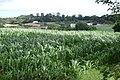 A field of maize above Gatehouse Farm - geograph.org.uk - 1409187.jpg