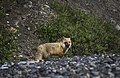 A fox walks along Glacier Creek after emerging from a nearby drainage in Unit 18 in Denali's backcountry on June 13, 2019. (b590e624-a72d-4348-b94d-c2d2f3b80692).JPG