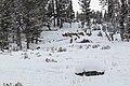 A group of elk near the Lost Lake Ski Trail (47170889342).jpg