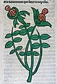 A plant with two children growing out of the buds., woodcut, Wellcome L0029212.jpg