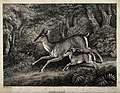 A red deer hind running with her fawn. Etching by W-S Howitt Wellcome V0021529.jpg