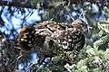 A spruce grouse in a spruce tree (cd082131-f2e0-45d0-a76f-443f8b5dd436).jpg