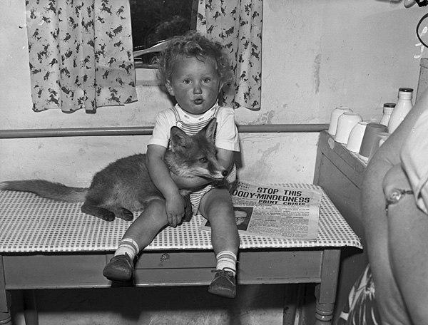 A tame fox cub at home with Mr and Mrs Gordon Jones, Talysarn (4478261667)