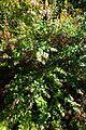 Abelia chinensis kz2.jpg