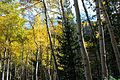 Abineau Trail is a steep 1,800 foot climb over two miles up the slopes of the San Francisco Peaks through Abineau Canyon. The trail meets the Waterline Trail at the top, which can be followed down to (22046739432).jpg