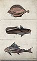 Above, a flesh coloured fluke; middle, a long tailed imminse Wellcome V0020780ER.jpg