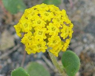Abronia (plant) - Yellow Sand Verbena (Abronia latifolia)