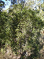 Acacia fasciculifera tree.jpg