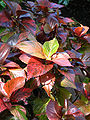 Acalypha wilkesiana (in a greenhouse) 01.JPG