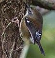 Acanthornis magna - Myrtle Forest (cropped).jpg