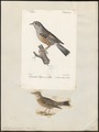 Accentor alpinus - 1700-1880 - Print - Iconographia Zoologica - Special Collections University of Amsterdam - UBA01 IZ16200384.tif