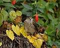 Accipiter striatus Juvenile.jpg