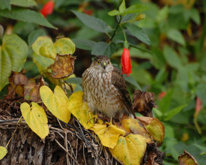 Sharp-shinned hawk - A juvenile sharp-shinned hawk in Parrish, Florida.