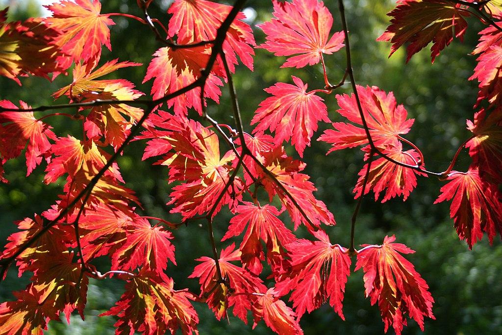 Acer japonicum 'Aconitifolium' JPG1b
