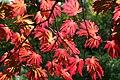 Acer japonicum 'Aconitifolium' JPG1b.jpg