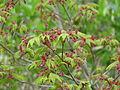 Acer japonicum vitifolium (13623963975).jpg