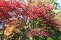 Acer palmatum 'Burgundy lace JPG1A.jpg