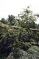 Acer palmatum Hogyoku 2zz.jpg