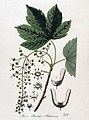 Acer pseudo-platanus — Flora Batava — Volume v4.jpg