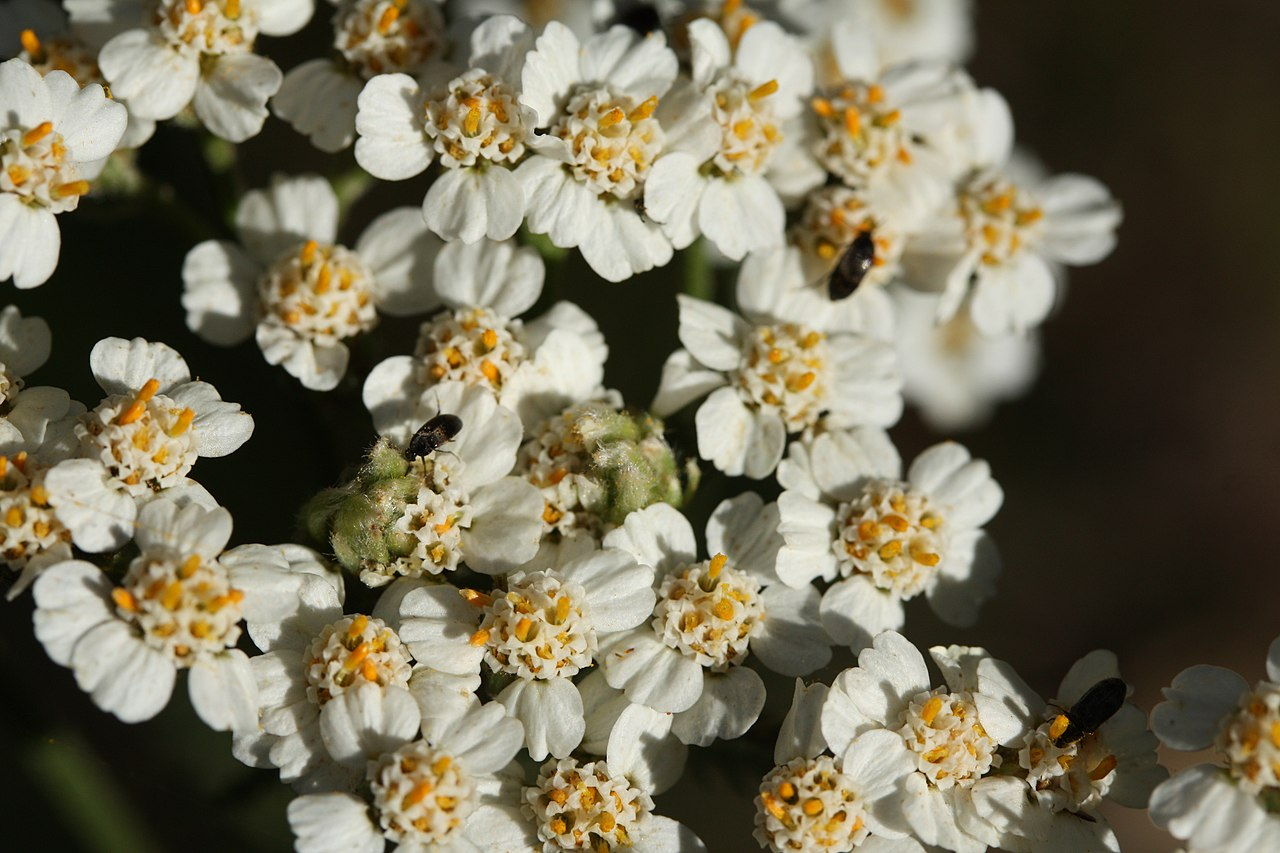 Fileachillea millefolium 7981g wikimedia commons fileachillea millefolium 7981g izmirmasajfo