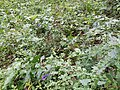 Aconitum variegatum subsp. variegatum sl15.jpg