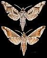Acosmeryx naga hissarica MHNT CUT 2010 0 414 Afghanistan, male.jpg