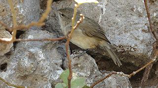 subspecies of bird