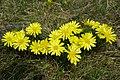 Adonis vernalis (49770572377).jpg