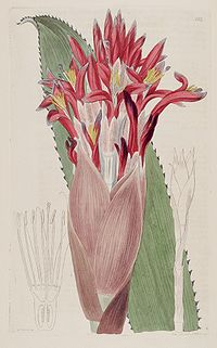 Aechmea nudicaulis (as Bromelia nudicaulis) - The Bot. Reg. 3 pl. 203 (1817)
