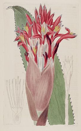 Aechmea nudicaulis (as Bromelia nudicaulis) - The Bot. Reg. 3 pl. 203 (1817).jpg