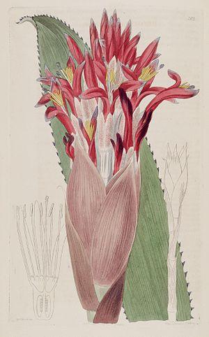 Aechmea nudicaulis - Image: Aechmea nudicaulis (as Bromelia nudicaulis) The Bot. Reg. 3 pl. 203 (1817)
