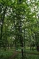 Aesculus hippocastanum in Sevastopolsky park, Minsk.jpg