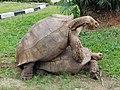 African spurred tortoises.jpg