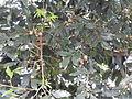 Agalia polystachya-2-kiliyur-yercaud-salem-India.JPG