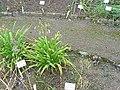 Agapanthus africanus4.jpg
