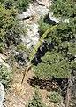 Agave utahensis kz02.jpg