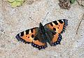 Aglais urticae - Small tortoiseshell 03.jpg